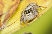 Arachnophobia Framed Prints - The Jumping Spider Framed Print by Mircea Costina Photography