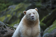 Fishing Creek Prints - The Kermode or Spirit Bear Print by Bill Cubitt