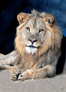 Lion Framed Prints - The King Framed Print by Emily Stauring