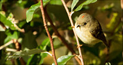 Ruby-crowned Kinglet Birds Photos - The Kinglet Displays His Crown by Stanley Lupo