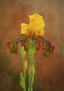 Yellow Bearded Iris Posters - The Kings Prize Iris Poster by Michael Peychich