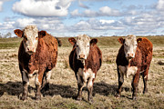 Lanarkshire Prints - The ladies three colourful cows Print by John Farnan