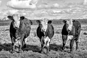 Cattle Photo Prints - The ladies three cows Print by John Farnan