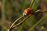 Photographs Pyrography - The ladybug by Cristina-Velina Ion