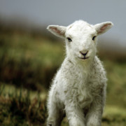 Animal Photos - The Lamb by Angel  Tarantella