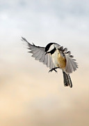 Chickadee Art - The landing by Bill  Wakeley