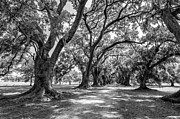 Evergreen Plantation Photo Framed Prints - The Lane bw Framed Print by Steve Harrington