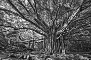 Jamie Pham - The large and majestic banyan tree located on the Pipiwai Trail