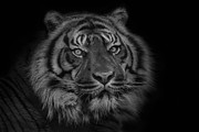 The Last Indonesian Print by Ashley Vincent