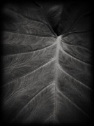 Sensual Photo Posters - The Leaf Poster by Edward Fielding