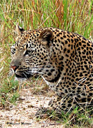Judith Meintjes - The Leopard
