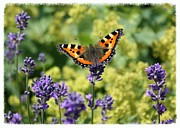 Tortoiseshell Prints - The Life of a Butterfly Print by Carol Groenen