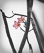 Botanical Beach Prints - The Light of Plumeria Print by Chris Ann Wiggins