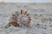 Lightning Photos - The Lightning Whelk by Melanie Moraga