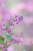 Kay Pickens Prints - The Lilac Print by Kay Pickens