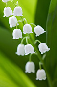 The Lily Of The Valley Print by Boon Mee