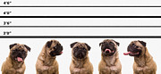 Pug Dogs Prints - The Line Up Print by Edward Fielding