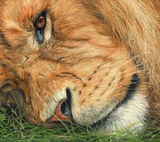South Africa Painting Prints - The Lion Sleeps Print by David Stribbling