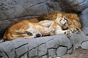 The Lion Sleeps Tonight Print by Eva Kaufman