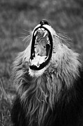 Lion Framed Prints - The Lions Jaws Framed Print by Aidan Moran