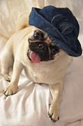 Pugs Framed Prints - The Little Bluejean Hat Framed Print by Jan Amiss Photography