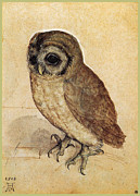 Medieval Drawings Framed Prints - The Little Owl 1508 Framed Print by Albrecht Durer