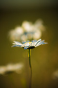 Bellis Prints - The Little Things in Nature Print by Matt Dobson