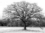 Chromatic Photo Prints - The Living Tree Print by Deborah  Crew-Johnson