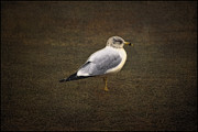 Bird Images Acrylic Prints - The Lonely Gull Acrylic Print by Thomas York