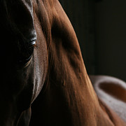 Equine Art - The look by Angel  Tarantella