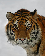 The Tiger Metal Prints - The Look Metal Print by Ernie Echols