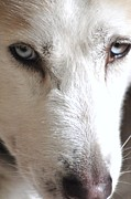 Husky Posters - The Look Poster by Lisa  DiFruscio