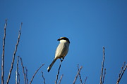 Song Bird Photos - The Lookout by Reid Callaway