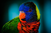 Swift Family - The Lorikeet