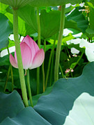 Lotus Full Bloom Prints - The Lotus and the Mantis Print by Larry Knipfing