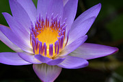 Blue Flowers Photos - The Lotus Flower - Tropical Flowers of Hawaii - Nymphaea Stellata by Sharon Mau