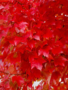 Red Leaves Photos - The Love Of Red Leaves by Teri Schuster