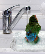 Coloured Plumage Prints - The Lovebirds Shower Print by Terri  Waters