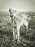 Lurcher Photo Posters - The Lurcher  Poster by Rob Hawkins