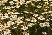 Hannes Cmarits - The margarite meadow
