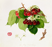 Vegetables Painting Prints - The May Duke Cherry Print by William Hooker