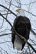 Bald Eagle Framed Prints - The mighty Bald Eagle perched on a branch in Brackendale B.C  Framed Print by Pierre Leclerc