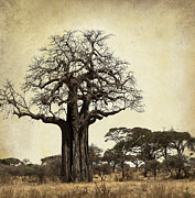 Big Tree Framed Prints - THE MIGHTY BAOBAB TREE of LIFE Framed Print by Daniel Hagerman