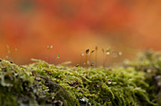 Droplet Prints - The Miniature World of Moss  Print by Anne Gilbert