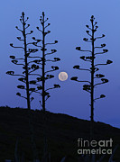 Bare Trees Prints - The Moon Rising Between Agave Trees Print by Luis Argerich
