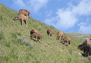 Bison Photos - The Morning Gathering by Sandra Bronstein