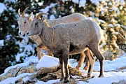 Big Horn Sheep Photos - The Morning Stroll by Adam Jewell