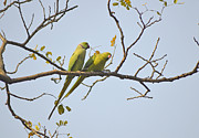 Parrot Pyrography Metal Prints - The morning sun Metal Print by Debrup Chatterjee