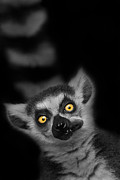 Lemur Catta Prints - The Munch Print by Ashley Vincent