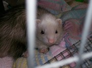 White Ferret Posters - The names ferrett Poster by Roxanne Butler